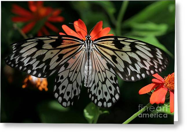 Rice Paper Greeting Cards - Rice Paper Butterfly Elegance Greeting Card by Sabrina L Ryan