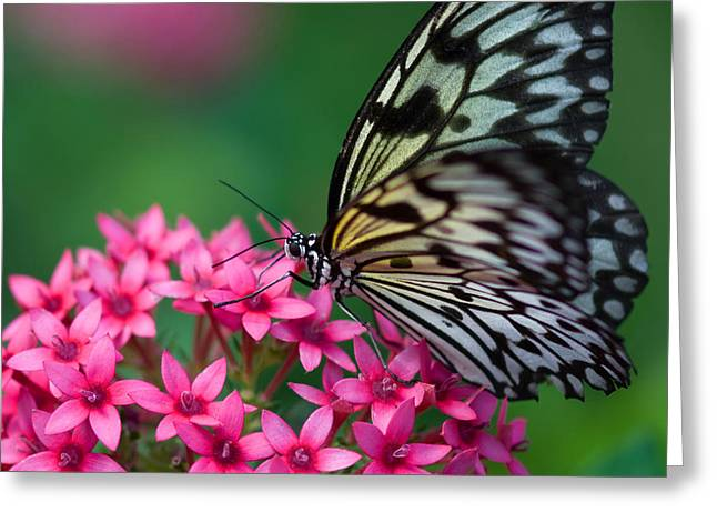 Rice Paper Butterfly Greeting Card by Joann Vitali