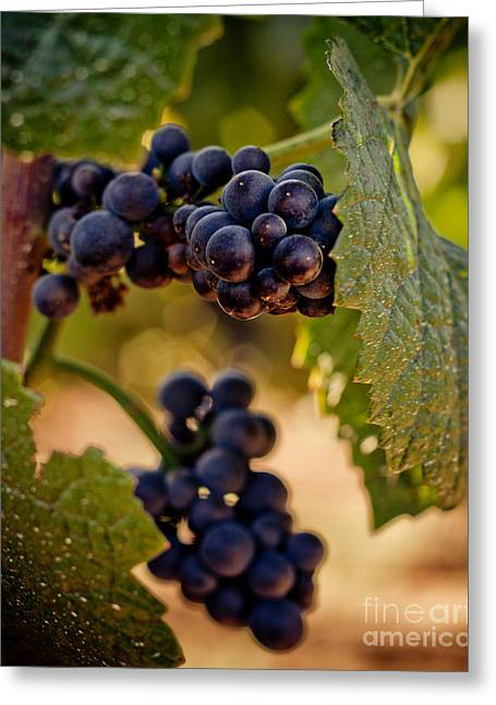 Grape Vines Greeting Cards - Rich Grapes on the Vine Greeting Card by Ana V  Ramirez