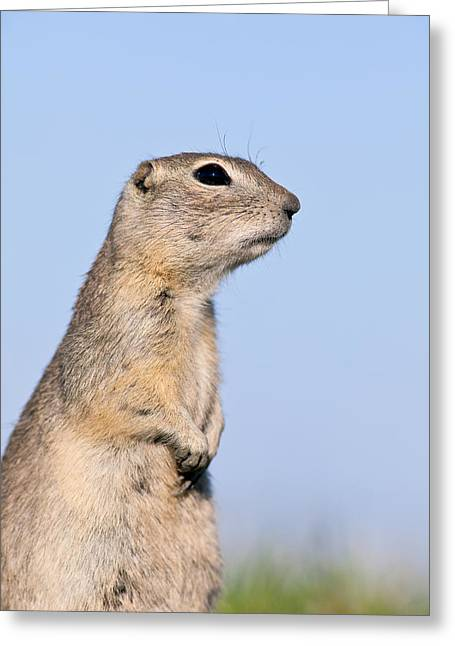 Oak Hammocks Greeting Cards - Richardsons Ground Squirrel Greeting Card by Ken Gillespie