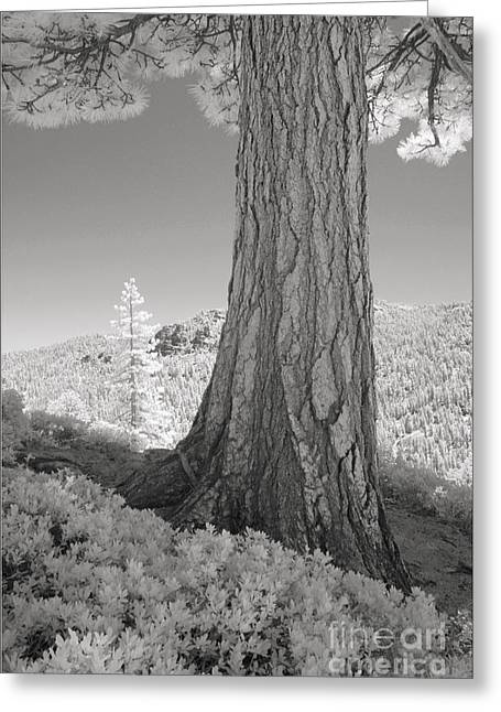 Masterful Greeting Cards - Ridge Pine Forest Greeting Card by Judith  Molle