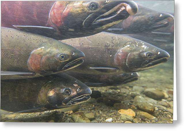 Coho Salmon Greeting Cards - Riding the Current Greeting Card by Tim Grams