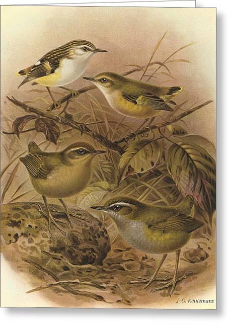 Audubon Greeting Cards - Rifleman Rock Wren and Bush Wren Greeting Card by J G Keulemans