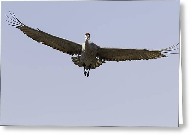 Sandhill Cranes Greeting Cards - Right At You Greeting Card by Thomas Young