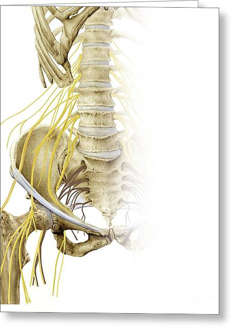 Sciatic Nerves Greeting Cards - Right Hip And Nerve Plexus, Artwork Greeting Card by D & L Graphics / Science Photo Library