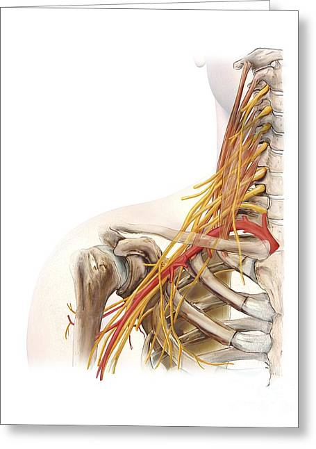 Recently Sold -  - Biological Greeting Cards - Right Shoulder And Nerve Plexus, Artwork Greeting Card by D & L Graphics