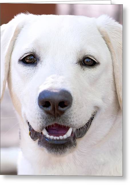 White Lab Greeting Cards - Riley Greeting Card by Stephen Anderson