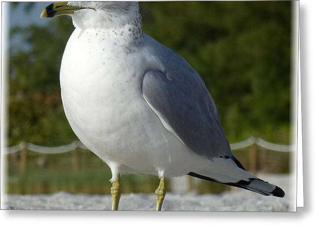 Flying Seagull Greeting Cards - Ring-billed Gull Greeting Card by Barbie Corbett-Newmin