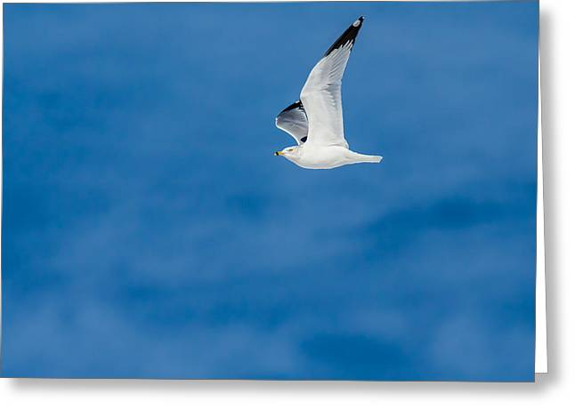 Larus Delawarensis Greeting Cards - Ring Billed Gull Greeting Card by Davidmark Images