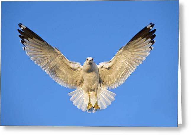 Zoology Greeting Cards - Ring Billed Gull Larus Delawarensis Greeting Card by Panoramic Images