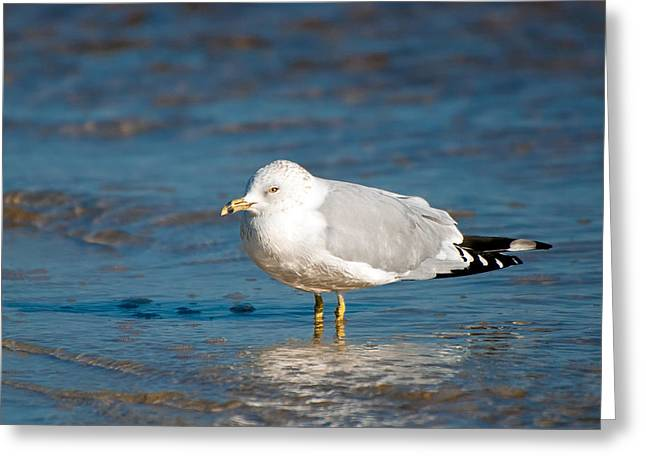 Larus Delawarensis Greeting Cards - Ring-Billed Gull Greeting Card by Rich Leighton