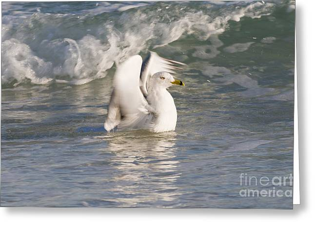 Larus Delawarensis Greeting Cards - Ring-billed Gull Greeting Card by William H. Mullins