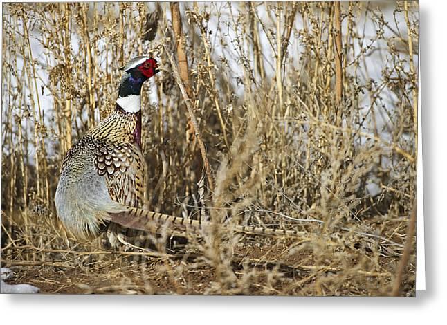 Wildlife Refuge. Greeting Cards - Ring Neck Phesant Greeting Card by Gary Langley