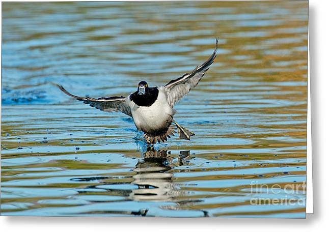 Water Fowl Greeting Cards - Ring-necked Drake Starting To Land Greeting Card by Anthony Mercieca