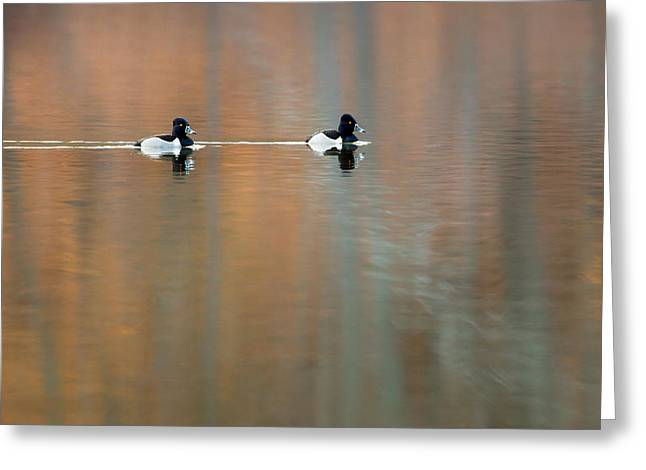 Reflection Photographs Greeting Cards - Ring Necked Ducks Greeting Card by Bill  Wakeley