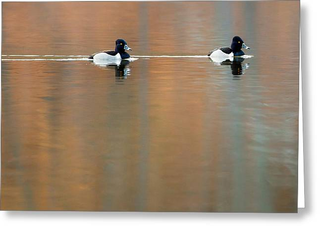 Water Fowl Greeting Cards - Ring Necked Ducks Square Greeting Card by Bill  Wakeley
