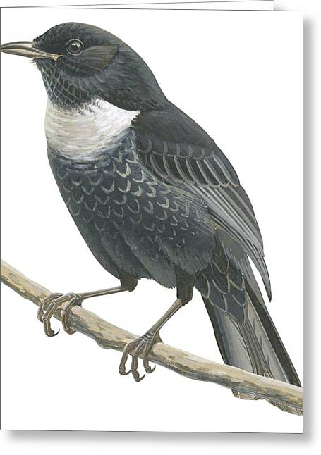Side View Drawings Greeting Cards - Ring ouzel  Greeting Card by Anonymous