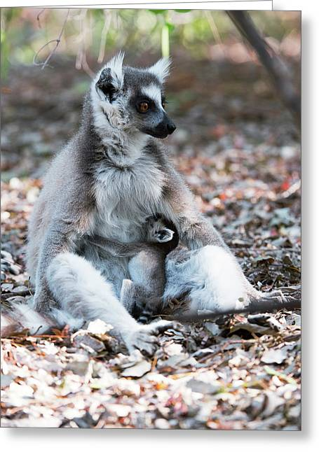 Ring-tailed Lemur And Baby Greeting Card by Dr P. Marazzi