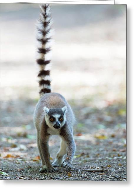 Ring-tailed Lemur Greeting Card by Dr P. Marazzi