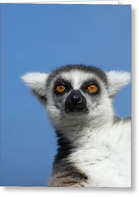 Sun Baking Greeting Cards - Ring-tailed Lemur In The Winter Sunshine Greeting Card by Margaret Saheed