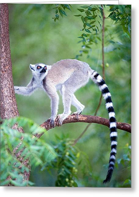 Climbing In Greeting Cards - Ring-tailed Lemur Lemur Catta Climbing Greeting Card by Panoramic Images