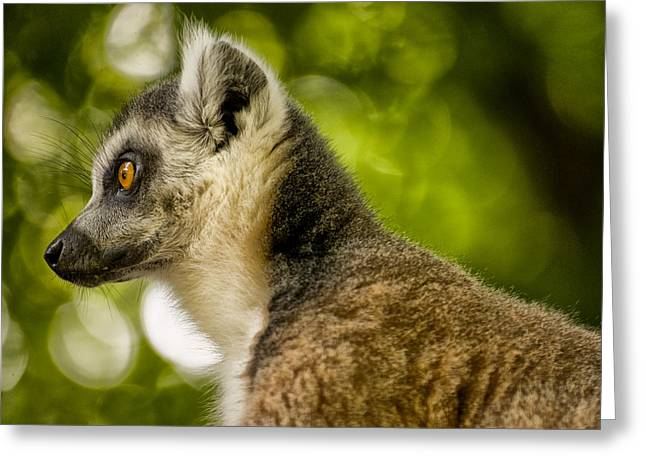 Lemur Greeting Cards - Ring Tailed Lemur - Lemur catta Greeting Card by Jay Lethbridge
