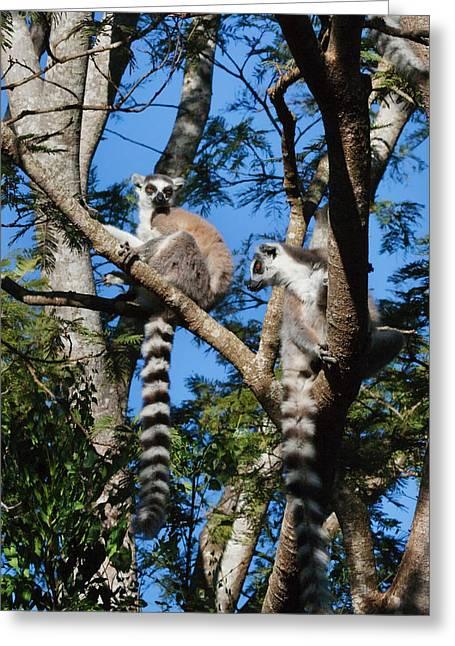 Ring Tailed Lemur (lemur Catta Greeting Card by Keren Su