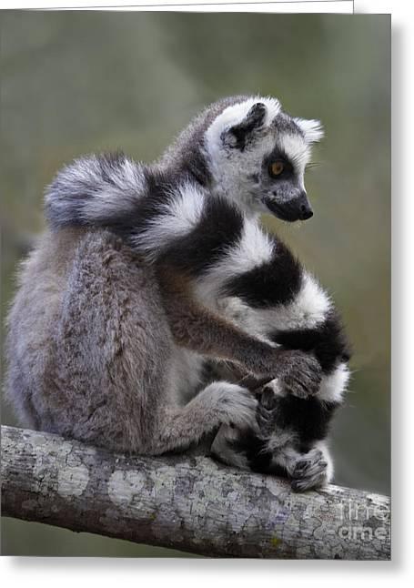 Wild Animal Greeting Cards - Ring-tailed Lemur Lemur catta  Greeting Card by Liz Leyden