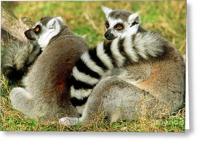 Lemur Catta Greeting Cards - Ring-tailed Lemur Lemur Catta Pair Greeting Card by Millard H. Sharp
