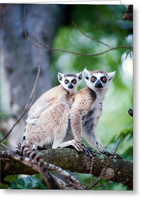 Two Tailed Photographs Greeting Cards - Ring-tailed Lemur Lemur Catta Greeting Card by Panoramic Images