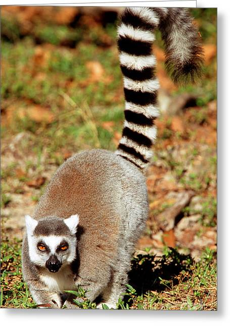 Lemur Catta Greeting Cards - Ring-tailed Lemur Lemur Catta Walking Greeting Card by Millard H. Sharp