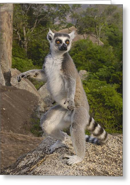 Ring-tailed Lemur Standing Madagascar Greeting Card by Pete Oxford