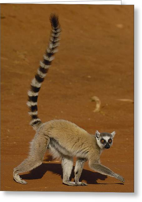 Berenty Private Reserve Greeting Cards - Ring-tailed Lemur Walking Berenty Greeting Card by Pete Oxford