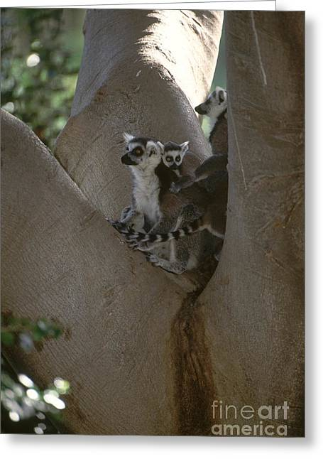 Ring-tailed Lemurs Greeting Card by Art Wolfe