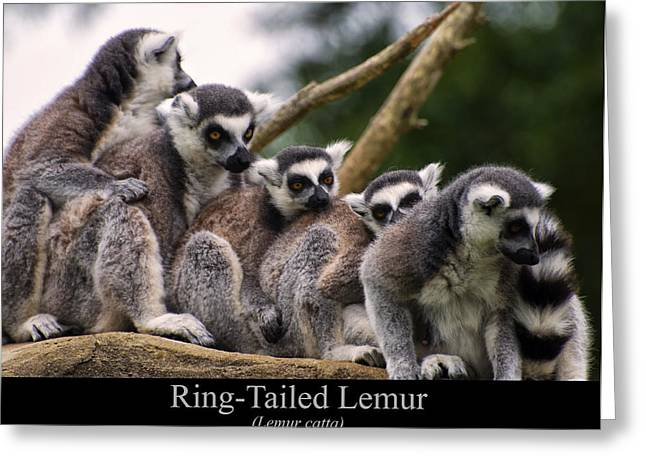 Lemur Catta Greeting Cards - Ring Tailed Lemurs Greeting Card by Chris Flees