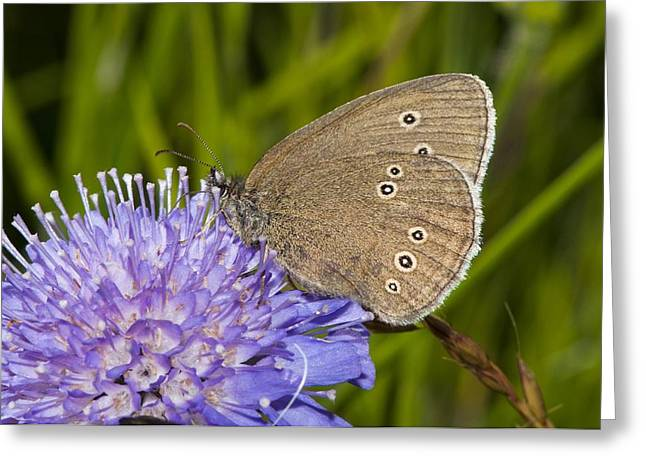Eating Entomology Greeting Cards - Ringlet butterfly on scabious flowers Greeting Card by Science Photo Library