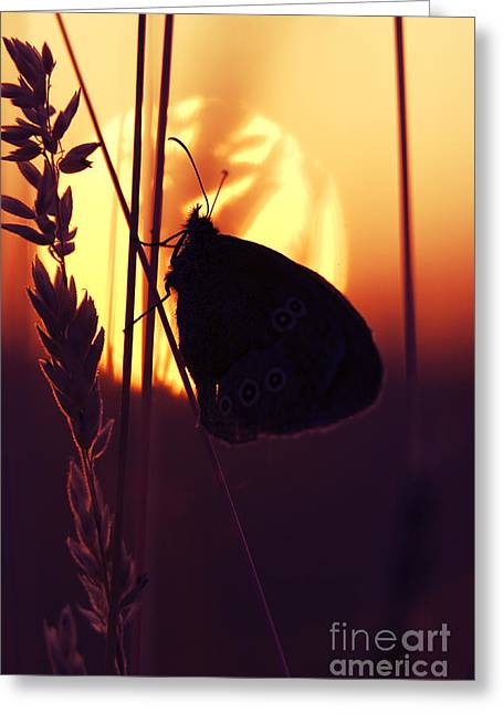 Ringlets Greeting Cards - Ringlet Butterfly Sunset Silhouette Greeting Card by Tim Gainey