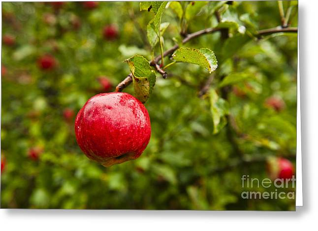 Maine Agriculture Greeting Cards - Ripe apples. Greeting Card by John Greim