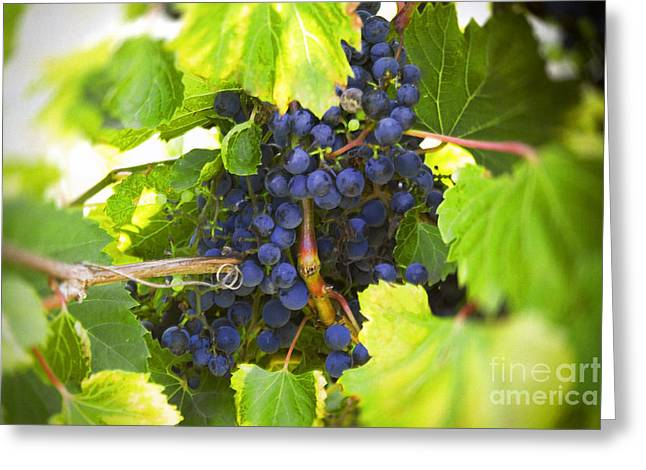 Blue Grapes Photographs Greeting Cards - Ripe Grapes Greeting Card by Jan Tyler
