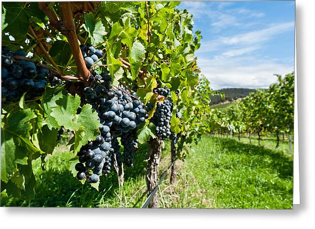 Zinfandel Greeting Cards - Ripe grapes right before harvest in the summer sun Greeting Card by Ulrich Schade