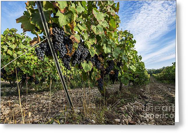 Malbec Photographs Greeting Cards - Ripe Grapes Greeting Card by Tony Priestley