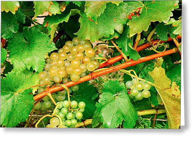Viniculture Greeting Cards - Ripe Green Grapes On The Vine, Quebec Greeting Card by Panoramic Images