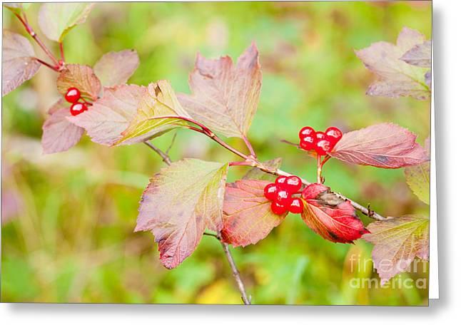 Edule Greeting Cards - Ripe Highbush Cranberriies Viburnum edule on shrub Greeting Card by Stephan Pietzko
