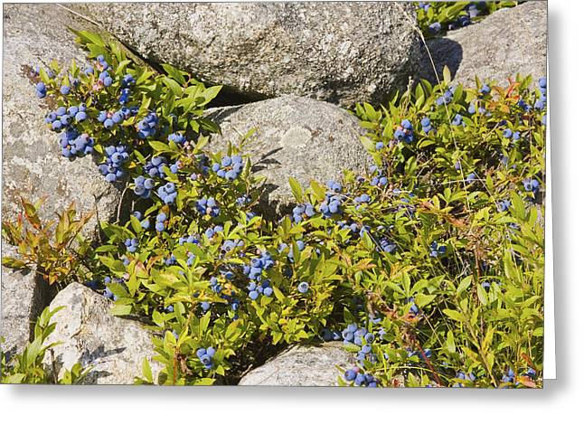Maine Agriculture Greeting Cards - Ripe Maine Low Bush Wild Blueberries Photograph Greeting Card by Keith Webber Jr