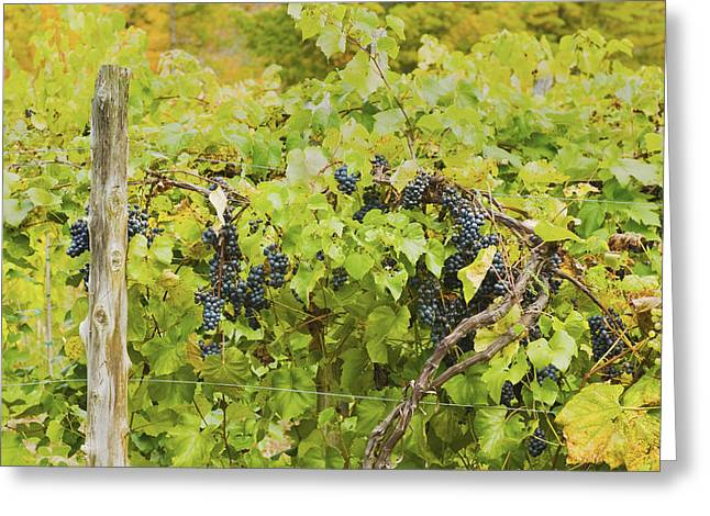Grape Vineyard Greeting Cards - Ripe Purple Grapes On Vine In Maine Greeting Card by Keith Webber Jr