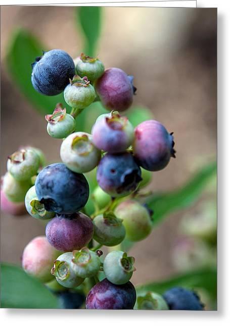 John Haldane Greeting Cards - Ripening Blueberries Greeting Card by John Haldane