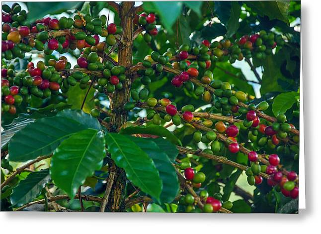 Green Beans Greeting Cards - Ripening Coffee Berries Greeting Card by Jess Kraft