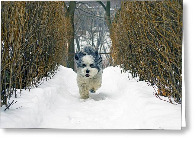 Coton Tulear Photographs Greeting Cards - Ripleys Run Greeting Card by Keith Armstrong