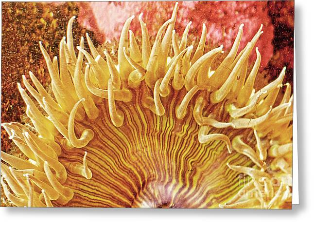 Pictures Of Sea Life Greeting Cards - Rise and Shine Sea Anemone- Pictures of Sea Creatures - Sea Anenome  Greeting Card by Artist and Photographer Laura Wrede