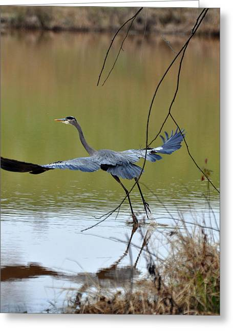 Blue Heron Greeting Cards - Rising Great Blue Heron  09939536a Greeting Card by Paul Lyndon Phillips